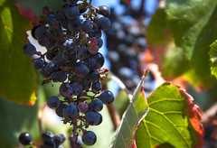 Harvest of the Beloved Vineyard (Life_After_Death - Shannon Day) Tags: rosicrucian museum collection rosicrucianmuseum rosicrucianegyptianmuseum egypt egyptian temple ancient history historical san jose ca california sanjosecalifornia antiquities antiquity archeology archeologist egyptology egyptologist artifact authentic grapes grape wild garden vine fruit cluster purple sweet raisin heat summer photography lifeafterdeath lifeafterdeathstudios lifeafterdeathphotography shannonday shannondayphotography shannondaylifeafterdeath lifeafterdeathstudiosartandphotography shannondayartandphotography canon canoneos canoneos50d 50d eos dslr canondslr eosdslr canoneos50ddslr hmm macro monday