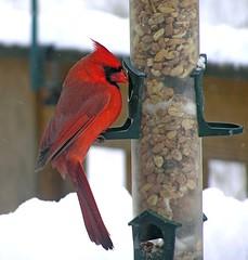 Cardinal (mudder_bbc) Tags: winter red snow birds snowstorm peanuts cardinals backyardwildlife northerncardinal backyardbirdwatching backyardbirdfeeders