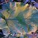a frozen leave of Scotch thistle (Onopordum acanthium)   Hoja congelada de cardo borriquero, alcachofa borriquera, ansarina o toba