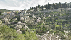 blossoming almond trees (David Mor) Tags: white season daylight village jerusalem hill almond bible pastoral slope einkerem churchofthevisitation marysspring