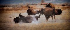 dusty (Darla J. Oathout) Tags: fall colorado bison