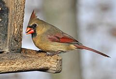 Female Cardinal at Feeder (AcrylicArtist) Tags: winter bird birds cardinal michigan wildlife femalecardinal