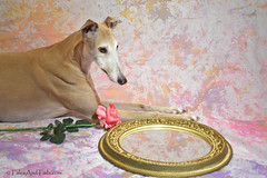 Classic Beauty (houndstooth4) Tags: dog greyhound bunny day52 day52365 ourdailychallenge 3652013 dogchal 365the2013edition 21feb13