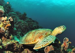 Pensive Turtle (in Explore) (gillybooze) Tags: turtle explore malaysia reef sipadan allrightsreserved madaleundewaterimages