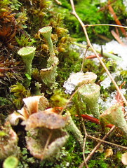 IMG_3406 (chaerea) Tags: trees tree nature mushroom vancouver moss woods bc fungi lichen mycology fruticoselichen