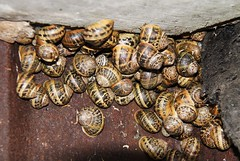 A Rout Of Snails! (RiverCrouchWalker) Tags: spiral concrete rust shell snails essex mollusc rout purfleet thamesestuary gardensnail flooddefence cornuaspersum