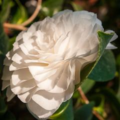White (Flubie) Tags: flowers e1 trdgrdsfreningen zd1454mm