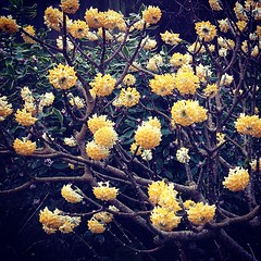 """Edgeworthia in my #garden #fragrant #bloom #yellow #blossom #pdx #pnw • <a style=""""font-size:0.8em;"""" href=""""https://www.flickr.com/photos/61640076@N04/8518277321/"""" target=""""_blank"""">View on Flickr</a>"""