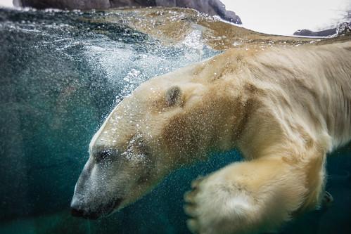 Polar Bear up close