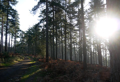 In The Hurtwood (Louise and Colin) Tags: wood uk trees england sun english pine forest woodland britain path forestry sandy eu surrey british peaslake firs treetrunks weald thehurtwood surreyhillsaonb surreyhillsareaofoutstandingnaturalbeauty 10000britishtrees