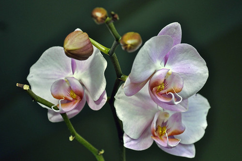 Orchids in three