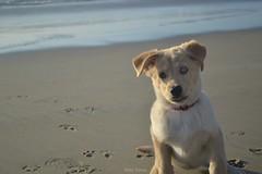 Ya tengo con quien ir a la playa (Nallely Espinoza) Tags: dog pet goldenretriever puppy husky labrador perro cachorro mascota goberian