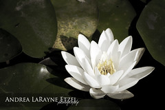 2008 Water Lily, Gage Park - Topeka, KS (Andrea LaRayne Etzel) Tags: park lighting flower nature water d50 landscape pond nikon midwest waterlily lily natural ks dramatic naturallight kansas topeka gage dramaticlight andrealarayneetzel