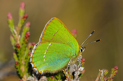 Green Hairstreak (Ian Keith) Tags: flickr cumbria greenhairstreak foulshawmoss