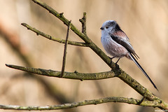 Staartmees -  Long-tailed Tit (wimzilver) Tags: bird 7d vogel longtailedtit oostvaardersplassen staartmees canon300mmf4lis wimzilver canon300mmf4lis14ex