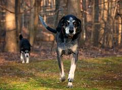 10/52 hurtling hound (huckleberryblue) Tags: dog gracie hound running week10 bluetickcoonhound 52weeksfordogs