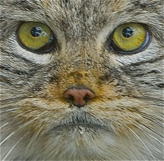 GREMLIN (lollipoplollipop@home) Tags: flickrbigcats blinkagain