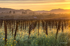 Dry Creek Morning (stephencurtin) Tags: california morning mountains color fog barn creek sunrise landscape bare dry photograph mustard grapevines thechallengefactory thepinnaclehof kanchenjungawinner stephencurtin tphofweek193