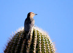 Gila Woodpecker, 03/14/13 (VinCar927) Tags: arizona birds riparianranchatwaterpreserve