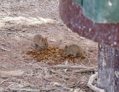 Four-striped Grass Mice (Squirrel Girl cbk) Tags: grass mouse mice namibia sossusvlei fourstriped