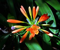 Spring Orange DSC_0498_edited-2 (John Dreyer) Tags: nature gardens spring nikon blossoms blooms southerncalifornia horticulture photocreditjohndreyer nikond5100 copyright2013johndreyer