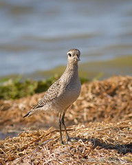 American Golden-Plover (claybuster1(Mike & Doris)) Tags: golden michigan american mb plover 2012 shorebirds americangoldenplover 91612