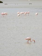 Flamencos. / Flamingos. (Recesvintus) Tags: espaa water birds fauna spain agua europe wildlife flamingos aves salinas alicante saltlake minimalism minimalismo flamencos calpe costablanca calp canonef70200f4l canoneos50d thebestofday gnneniyisi recesvintus rememberthatmomentlevel1 creativephotocafe vigilantphotographersunite vpu2 vpu3 vpu4 vpu5 vpu6 vpu7 vpu8 vpu9 elsaladar potd:country=es
