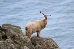 Feral Billy Goat (Dartmoor Mike) Tags: island goat devon billy lundy feral wingnut
