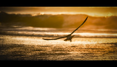 sunset sail | san gregorio, ca (elmofoto) Tags: ocean california sunset bird nature northerncalifornia coast nikon san waves fav50 flight cinematic gregorio d800 70200mm fav25 nikond800 elmofoto lorenzomontezemolo
