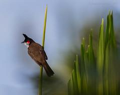 Red-whiskered Bulbul (Pycnonotus jocosus) (Jeluba) Tags: bird nature canon wildlife aves mauritius ornithology oiseau redwhiskeredbulbul pycnonotusjocosus bulbulorphée rotohrbülbül