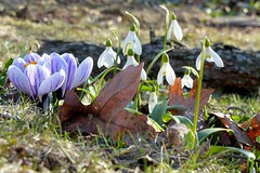 First signs of spring & fall leftovers (karen&2mutts) Tags: crocus snowdrops springflower springbulb