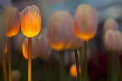 Tulips / Tulpen (siebe ) Tags: flowers flower holland dutch spring tulips nederland thenetherlands tulip lente bloemen keukenhof tulpen bloem tulp voorjaar lisse 2013