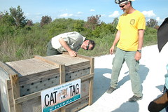 FWC Panther release, 4/3/2013 (MyFWCmedia) Tags: wild fish animals cat florida wildlife release conservation endangered panther bigcypress wma biologist fwc floridapanther threatened fwri imperiled floridafishandwildlife myfwc myfwccom myfwcmedia daveonorato malepanther darrellland