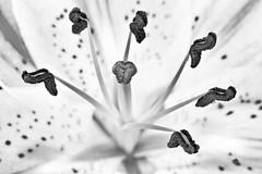 Stigma and Stamens, Stargazer Lily, Black and White (Alejandro Ortiz III) Tags: newyorkcity blackandwhite bw usa newyork macro alex brooklyn digital canon eos newjersey lily unitedstatesofamerica stargazer stamens highkey canoneos stigma allrightsreserved lightroom rahway alexortiz ef100mmf28macrousm 60d lightroom3 shbnggrth silverefexpro2 alejandroortiziii 2013alejandroortiziii stigmaandstamens