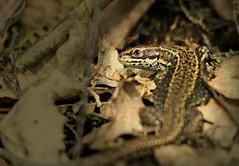 Common Lizard (niknok2007...) Tags: wild nature spring reptile wildlife yorkshire lizard hatfield hibernate commonlizard 2013 hatfieldmoors niknok2007