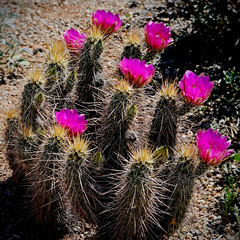 Cactus in Bloom 1, 04-07-13 (VinCar927) Tags: flowers arizona gilbertriparianpreserve riparianranchatwaterpreserve