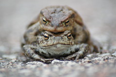 Love is in the air... (nancy II) Tags: nature scotland spring wildlife toad bufobufo commontoad