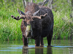 Velvet Bull Moose Feeding in Pond - 1233b+ (teagden) Tags: summer water photography moss pond feeding eating wildlife moose bull velvet antlers explore eat feed noses bullmoose wildlifephotography velvetantlers jenniferhall bullmooseinvelvet mossynose
