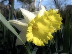 (Tölgyesi Kata) Tags: narcissus nárcisz daffodil budaiarborétum arboretum withcanonpowershota620 spring narzissen blossom bluesky garden tavasz fleur virág