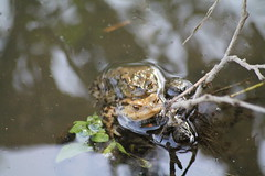 Randy toads (vhs2008) Tags: park lake tree bird water birds toads goose pump egret lackfordlakes weststowpark