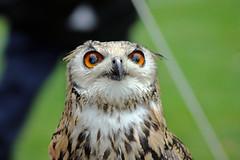 European Eagle Owl (TonyKRO) Tags: nature birds fauna feathers raptor owl wise avian birdofprey eagleowl wideeyes europeaneagleowl