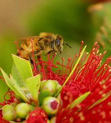 Bee on Lehua Flower at Punchbowl ≡  Eric Tessmer, Molokai, Hawaii