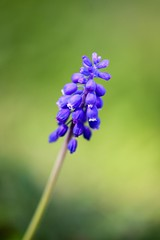 Traubenhyazinthen (Marcel Cavelti) Tags: natur wiese grn blau blume muscari blten traubenhyazinten hyazinthen perlhyazinthen bauernbbchen spargelgewchs bergmnnchen pflanzeflora