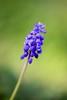 Traubenhyazinthen (Marcel Cavelti) Tags: natur wiese grün blau blume muscari blüten traubenhyazinten hyazinthen perlhyazinthen bauernbübchen spargelgewächs bergmännchen pflanzeflora