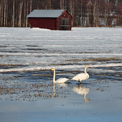 Spring is here (totheforest) Tags: bird birds barn spring swan sweden swans lada vr signsofspring fglar svan whooperswan cygnuscygnus norrbotten migratorybirds sngsvan svanar vrtecken nikond90 flyttfglar jebyn sngsvanar nikonflickraward nikkorafsdx18105mmf3556gedvr