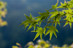 Sunlit Maple Leaves (agaudin) Tags: trees plants tree green hoja nature leaves japan japanese maple kyoto blad arashiyama   foglia sunlit  blatt feuille xsi   li      canonxsi