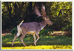 Gamo. Fallow-deer (jleisfotos) Tags: naturaleza male nature mammal wildlife deer animales gamo buck macho fallow ciervo cuerna mamifero cuerno salvaje corzo