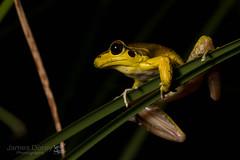 Litoria jungguy (Jbdorey) Tags: litoriajungguy amphibian australian australianphotographer frog httpwwwjamesdoreyphotographycomau jamesdorey jamesdoreyphotography jbdorey nature photographer photography