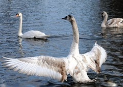 """""""It was this big"""" (gillybooze) Tags: allrightsreserved bird swan birdwatcher water outside wings"""