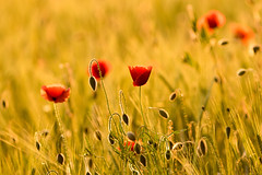 Evening Poppies (microwyred) Tags: poppy evening wheatfield wildflowers